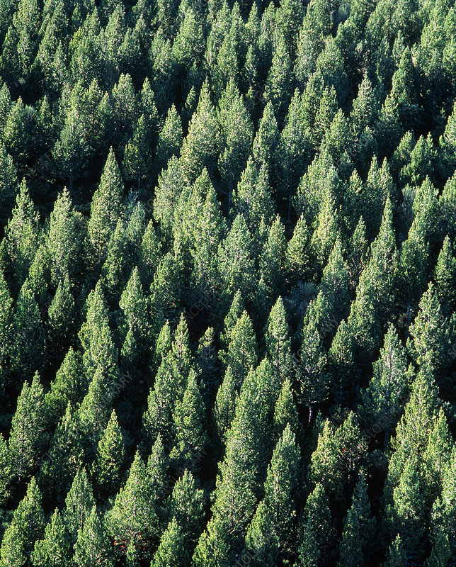 Aerial view of a conifer forest, Spain