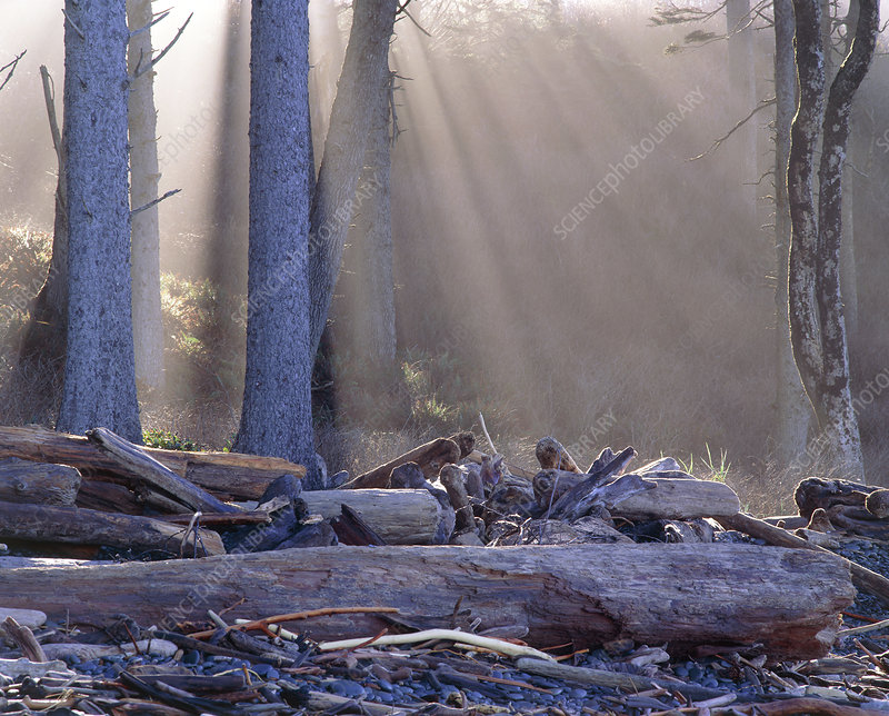 Sun's rays through trees in forest