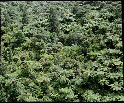 Temperate rainforest with tree ferns new zealand