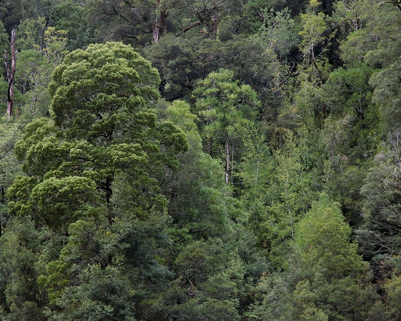 Canopy of a temperate rainforest, Tasmania