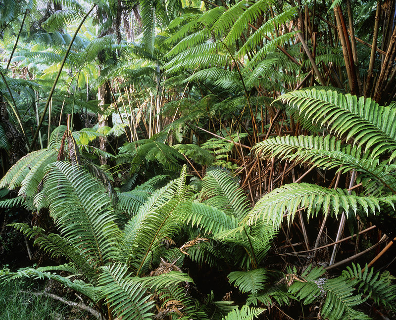 Tree ferns in tropical rainforest
