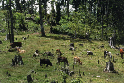 Cattle grazing on deforested land in Costa Rica