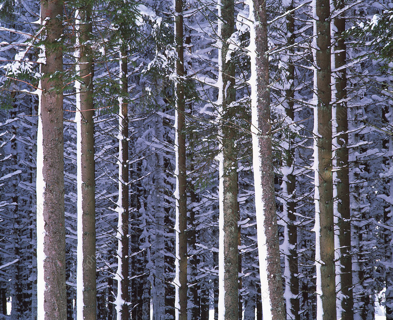 Spruce trees in winter