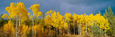 Aspen trees in the Autumn