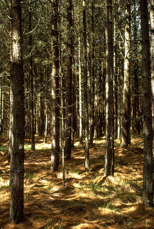 Forest of Austrian pine trees