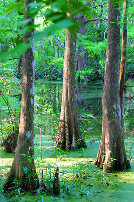400-acre ancient hardwood forest, LA