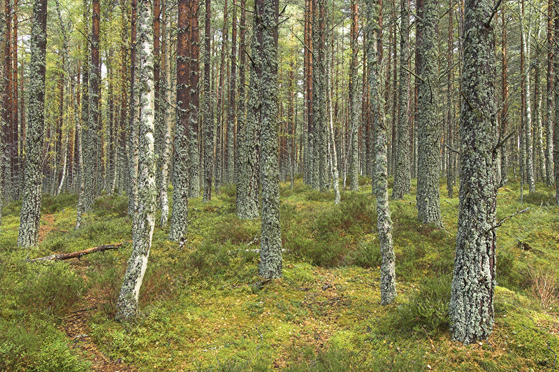 Forest of Scots pine and birch trees