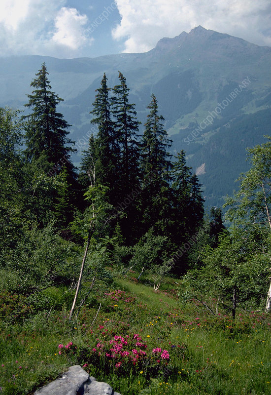 Coniferous forest on mountain slopes