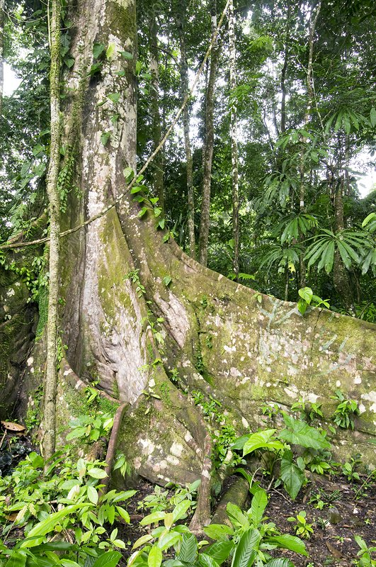 Buttress roots and epiphytes on a tree