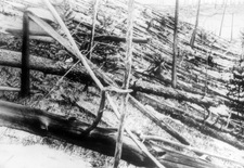 Trees damaged in the Tunguska event