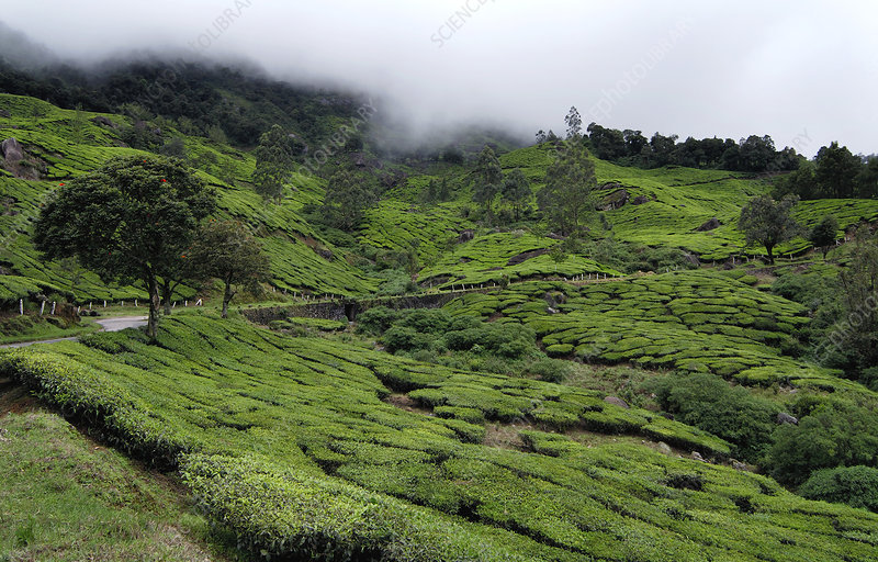 Happy Valley Tea Estate, India