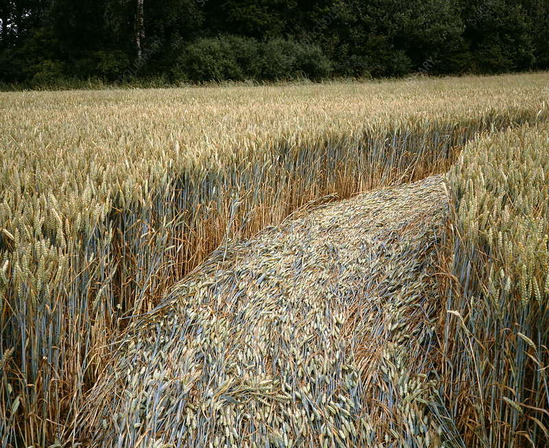 Detail of crop formation, Lockeridge, Wiltshire