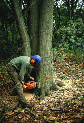 Tree cutting in Nower Wood, Surrey, England