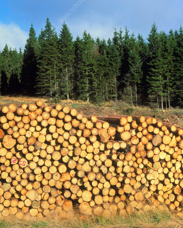 Sitka spruce and harvested timber, Northumberland