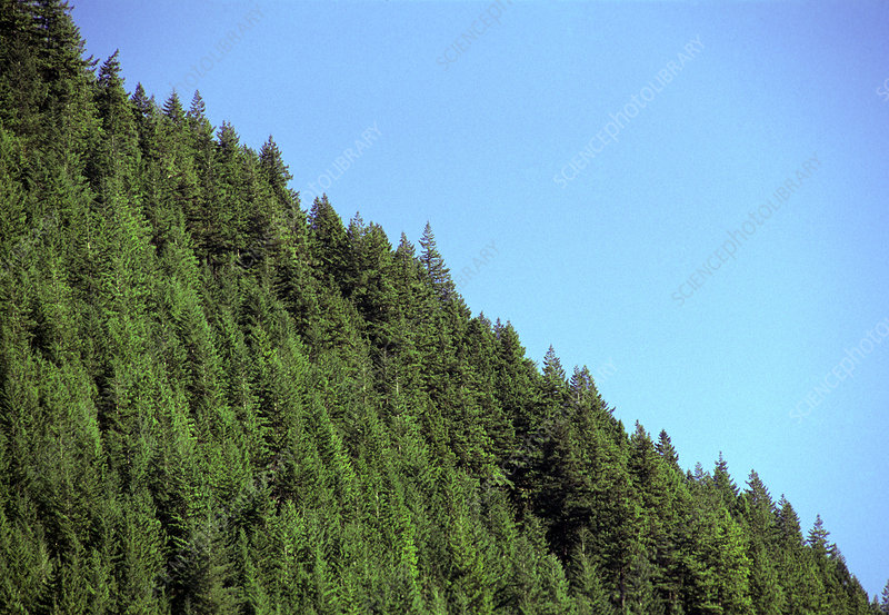 Douglas fir forest, British Columbia, Canada
