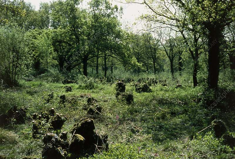 View of coppiced woodland in Norfolk, England