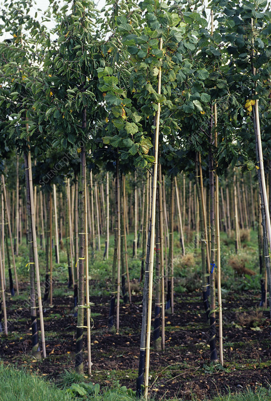 Young trees at a nursery