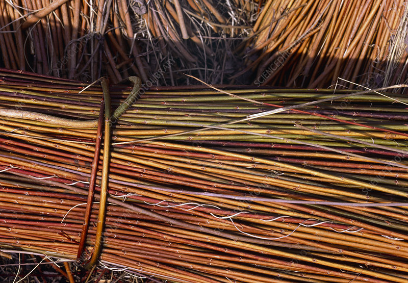 Harvested willow sticks