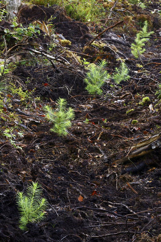 Dunkheld larch seedlings