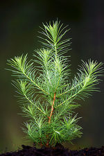 Dunkheld larch seedling