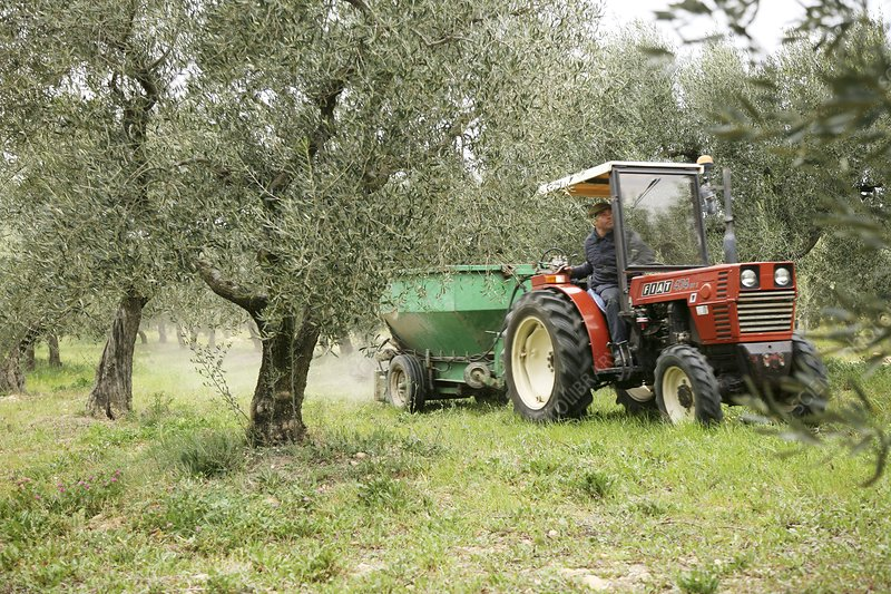 Farmer spreading manure in an olive grove