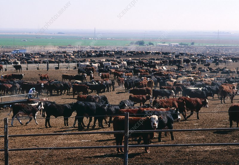 View of a herd of beef cattle ready for slaughter