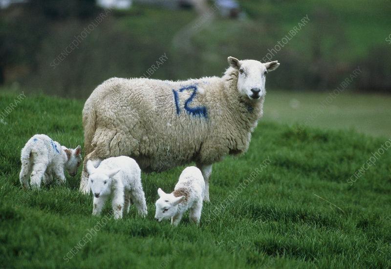 View of a female sheep, Ovis aries, with lambs