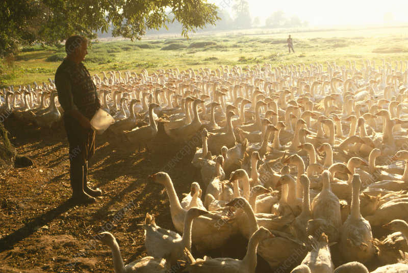 View of a goose farmer with a large flock of geese