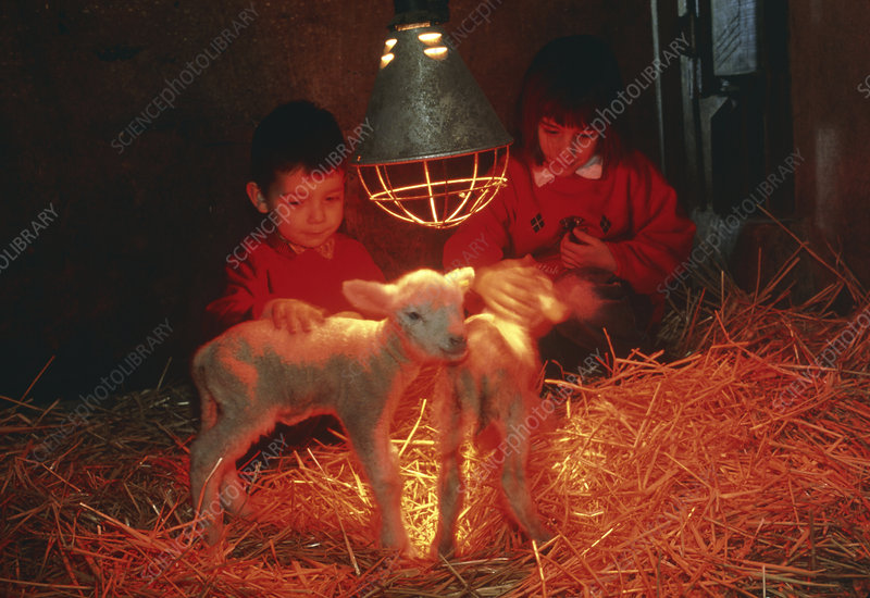 Children with lambs (Ovis aries) in infrared light