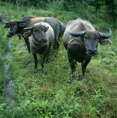 Asian water buffaloes