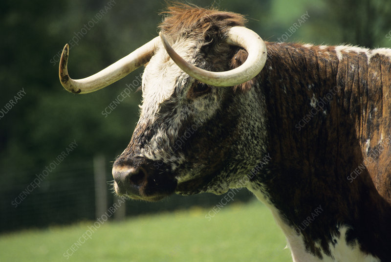 English longhorn cow
