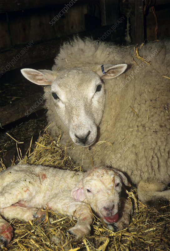 Ewe and new born lamb