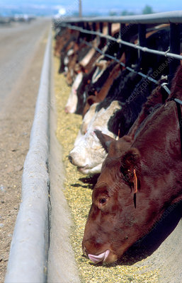 Cattle eating at a feedlot in Idaho