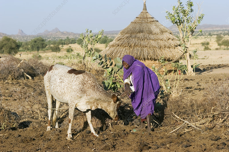 Woman tending to her cow