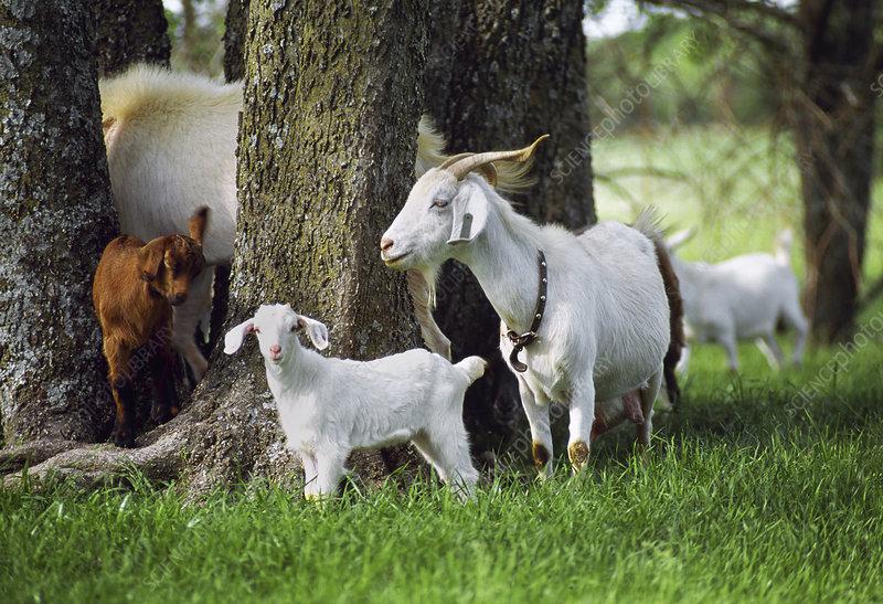 Spanish goat (Capra sp.)