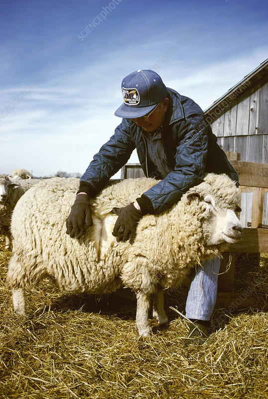 Farmer examining sheep's winter coat