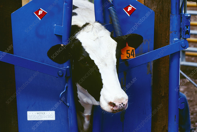 Holstein calf held in a squeeze chute