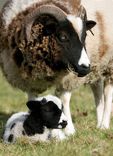 Jacob sheep with lamb