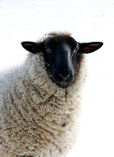 Domestic sheep in snow