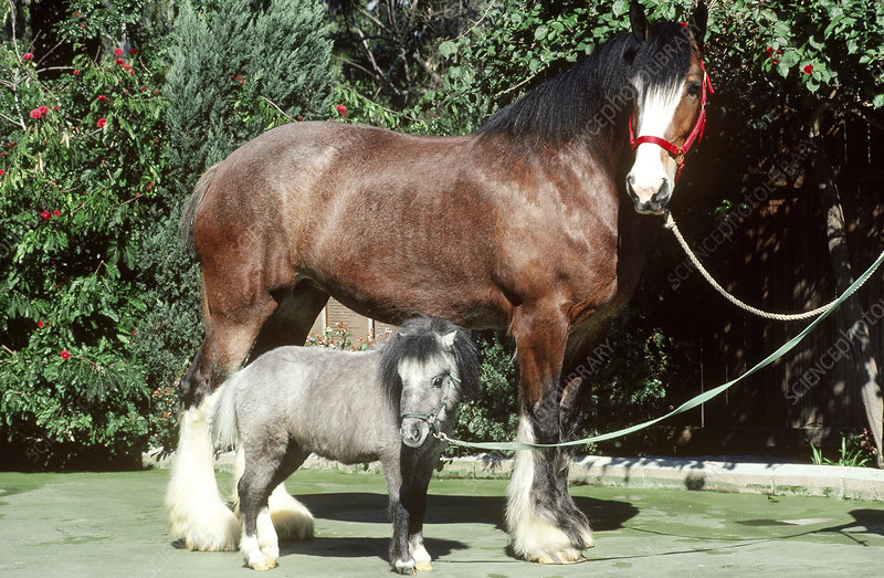 Clydesdale and Miniature horses