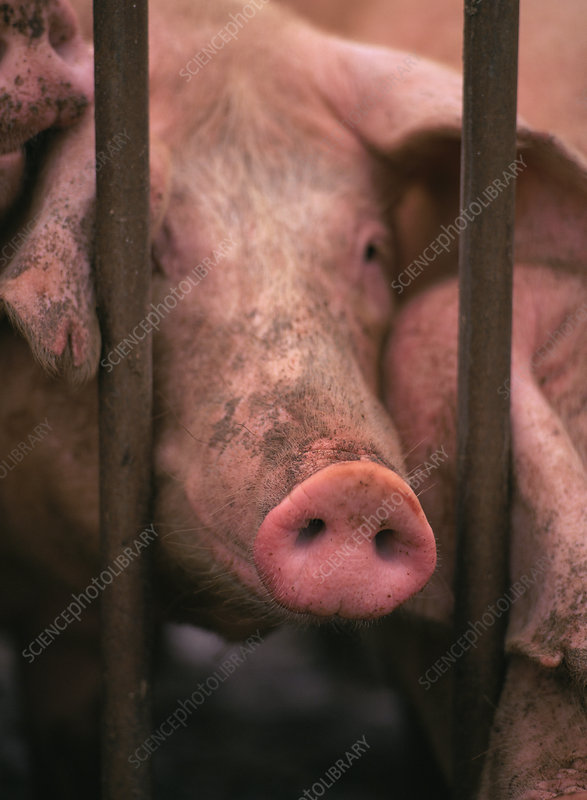 Pig looking through bars