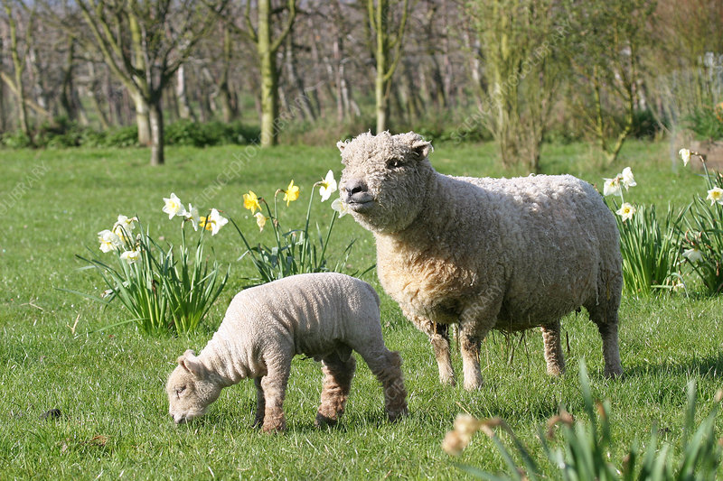 Southdown sheep and lamb