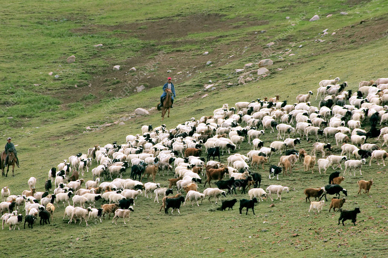 Sheep and goat herding in Mongolia