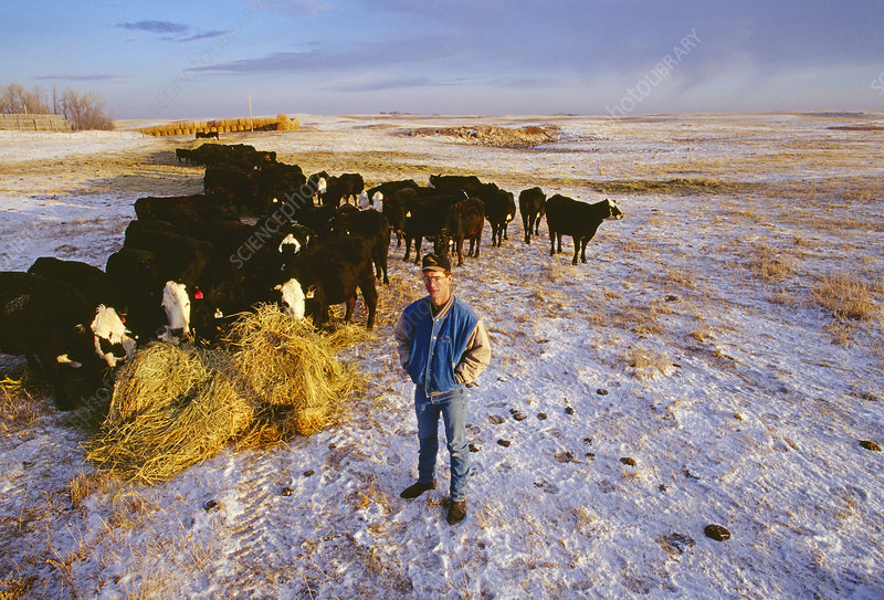 Farmer with his beef cattle