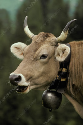 Brown cow with a bell around its neck