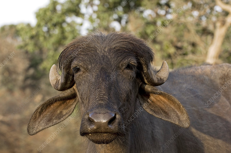 Domestic Asian water buffalo