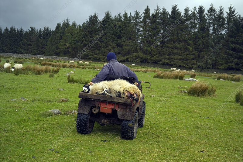 shepherd transporting a female