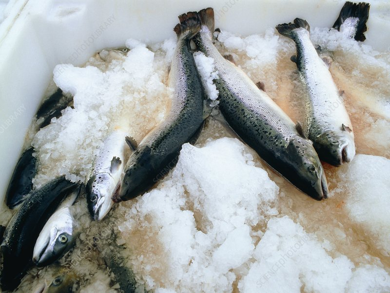 Harvested salmon on ice at a Scottish salmon farm.