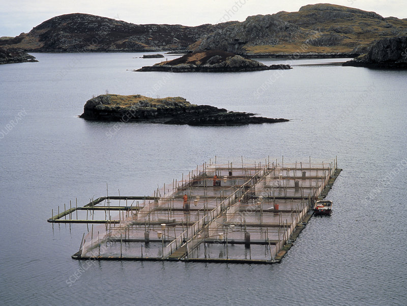 Cages at a salmon farm in Scotland