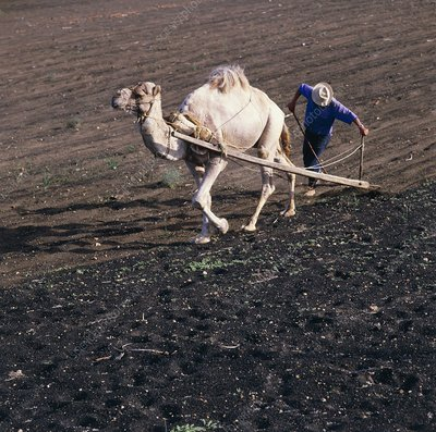 Camel ploughing a field in Lanzarote Island